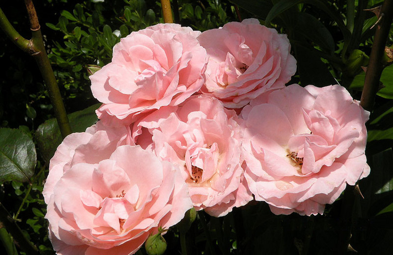 Cultivated pink roses on the grounds of The Lily Barn near the gazebo.