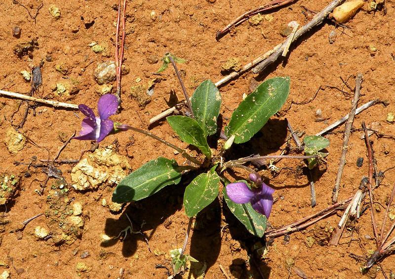 Muddy specimen of Arrowleaf Violet along the logging road<br /> Viola sagitta<br /> Violaceae<br /> Nantahala National Forest, NC 5/8/09