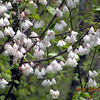 Closer view of Carolina Silverbells<br /> Halesia carolina<br /> Styracaceae<br /> Cowee Bald Tower Rd. <br /> Nantahala National Forest, NC 5/8/09