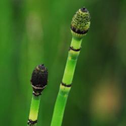 Horsetail or Scouring Rush is a third category of Fern Ally. It contains silica in its organic tissues and has a rough, gritty feel to it. I've seen these growing in lots of boggy areas back in Virginia. They have no true leaves, but are vascular plants and bear spores.