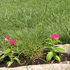 Madagascar periwinkle is mentioned in Best  Garden Plants for Tennessee as a good choice. It is easy to grow, non invasive and a pretty ornamental.  It takes lots of sun.  The middle plant is Unicorn spike rush.  It has delicate corkscrews and is a bog plant. This trough has no drain hole so it will thrive here and the periwinkles are hardy enough to take the moist soil.