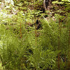 Cinnamon Fern colony located at Tallassee in a hanging valley where a stream keeps the valley floor watered.<br /> This was  an moist oasis where ferns and other wetland species grew atop a mountain that a mere 50 yards away was dry, rocky and inhospitable to these ferns!
