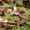 Catesby's Trillium<br /> Trillium catesbei