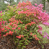 These are human introduced landscaping. An assortment of azaleas, but they are quite pretty and I thought to include them. They really brighten the scenery!<br /> Maryville College Woods, TN 4/09