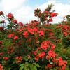 Christmas Red azaleas<br /> Gregory Bald<br /> GSMNP TN 6/20/09