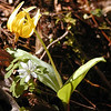 Dimpled Trout Lily and Rue anemone in White Oak Sinks<br /> Erythronium umbilicatum<br /> Liliaceae<br /> GSMNP TN 3/30/09