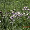 Daisy Fleabane along Connelly's Creek Road<br /> Erigeron annuus<br /> Asteraceae<br /> Alarka Laurel,NC 5/8/09