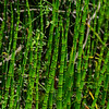 Large stand of horsetail or scouring rush.
