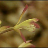 Closeup of Adam and Eve orchid bloom