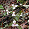 Large cluster of Painted trilliums in the forest along the Walton Trail<br /> Alarka Laurel NC