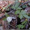 Dwarf Ginseng<br /> Panax trifolius<br /> Araliaceae<br /> Porters Creek Trail GSMNP TN 4/09