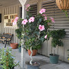 Hibiscus standard out front at Pope's<br /> The little blue shrub in the lower left is plumbago.