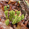 Shining Club Moss in the forest along the Walton Trail. The club mosses are a 4th category of Fern ally. <br /> This is a fir moss<br /> Huperzia lucidula<br /> Lycopodiaceae<br /> .Alarka Laurel<br /> Nantahala National Forest, NC 5/8/09
