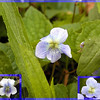Hybrid Violet  Answer:<br /> The parents of this flower are:<br /> Bottom left corner Viola sororia priceana or Confederate Violet and <br /> Bottom right corner--Viola conspersa Dog Violet