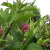 Milkweed grows in the weeds which is a host plant for monarch butterflies.