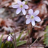 Sharp Lobed Hepatica growing near the rock cliffs heading into White Oak Sinks.<br /> Hepatica acutiloba<br /> Ranunculaceae<br /> GSMNP TN 3/09