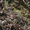 Slope dotted with Trout Lilies<br /> GSMNP TN 3/30/09