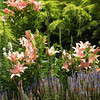 Grouping of pink lilies, white gay feather, pink and purple Veronica.  One of my favorite spots on the whole grounds!
