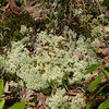 Reindeer Lichen is found in great quantities here in the Red Spruce Bog. It is a fern ally. <br /> It grows in areas of tundra and is an important food for caribou up north. There is a zone of tundra here as well as one more taiga like. This species grows very slowly. Only 8 mm per year so a large clump may be a hundred years old!<br /> It is a lichen. Lichens are symbiotic organisms composed of the merger of a fungal body and an algal body. The fungal organism reproduces by spores, but will reproduce not a lichen, but only the fungus.  Reindeer lichen can reproduce by breaking off clumps and starting a new piece from there. Easy to ID.  Adapted to survive in harsh conditions.<br /> Not a vascular plant.<br /> Cladonia rangiferina<br /> Cladoniaceae<br /> Nantahala National Forest, NC 5/8/09