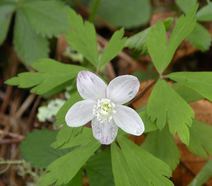 Wood Anemone near bog pond<br /> Anemone quinquefolia<br /> Ranunculaceae<br /> Alarka Laurel Red Spruce Bog<br /> Nantahala National Forest, NC 5/8/09