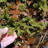 Foxtail Club Moss along Walton Trail near the Shining Club Moss. Though they look similar and are related they are different species. This is a bog club moss.  This fern ally also comes in under the Lycopodium family. In the past this family encompassed about ALL fern allies!<br /> Lycopodiella alopecuroides<br /> Lycopodiaceae<br /> Alarka Laurel<br /> Nantahala National Forest, NC 5/8/09