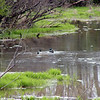Pair of mallard ducks swim in the waters of the wetland. Chances are they have a nest nearby and will raise their family here.