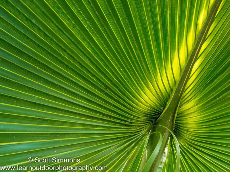 Cabbage Palm