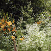 Turks Cap Lilies and Tall Meadow Rue grow profusely atop Bob Stratton Bald in Summer<br /> Turks Cap Lilies--Orange flowers<br /> Lilium superbum<br /> Liliaceae<br /> Tall Meadow Rue--white flower spray<br /> Thalictrum pubescens<br /> Ranunculaceae<br /> Cherohala Skyway Wildflower Walk<br /> Cherokee National Forest, TN 7/08