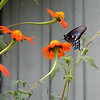 Mexican Sunflowers with pipevine swallowtail butterfly outside Mountain Sage Gallery<br /> Tithonia rotundifolia<br /> Asteraceae<br /> Blount County, TN 8/07