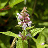 Hedge Nettle at Bob Stratton Bald off the Cherohala Skyway<br /> Stachys clingmanii <br /> Lamiaceae<br /> Cherokee National Forest,  TN 7/08