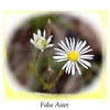 False Aster on Starr Mountain-an imperiled plant species<br /> Boltonia decurrens<br /> Asteraceae<br /> Starr Mountain, Monroe County, TN 10/08