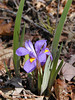 """Dwarf Violet Iris at Tallassee up on the ridges of Chilhowee Mountain.<br /> J. K. Small (1929b) illustrated this taxon as the """"mountain form"""" of Iris verna. Rarer than dwarf crested iris.<br /> Iris verna var. smalliana<br /> Iridaceae<br /> Blount County, TN 4/08"""