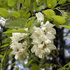 Black Locust blooms fragrantly near my house<br /> Robinia pseudoacacia<br /> Fabaceae<br /> Blount County, TN 4/08