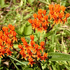 Butterfly Weed<br /> Asclepias tuberosa<br /> Asclepidaceae<br /> Blount County, TN 7/08