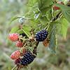 Blackberries<br /> Rubus fruticosus <br /> Rosaceae<br /> Cherohala Skyway, TN 7/08