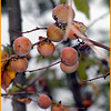 Persimmons on Starr Mountain<br /> Diospyros virginiana<br /> Ebenaceae<br /> Monroe County, TN 10/08