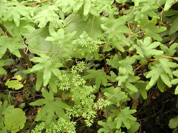 American Climbing Fern or Possum Paw Fern<br /> Lygodium palmatum<br /> Lygodiaceae<br /> Royal Blue WMA, TN 4/08