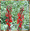 Cardinal Flower<br /> Lobelia cardinalis<br /> Campanulaceae <br /> Great Smoky Mountains National Park, TN