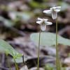 Northern White Violet<br /> Viola macloskeyi<br /> Violaceae<br /> Royal Blue WMA TN 2008