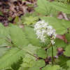 White Baneberry or Dolls Eyes <br /> Actaea pachypoda <br /> Ranunculaceae<br /> Great Smoky Mountains National Park, TN 5/08