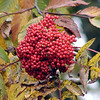 Berries of American Mountain Ash on Huckleberry Knob<br /> Located off the Cherohala Skyway<br /> Sorbus americana<br /> Rosaceae<br /> Cherokee National Forest, TN 10/08