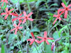 Fire Pinks <br /> Silene virginica<br /> Caryophyllaceae
