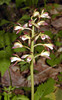 Adam and Eve Orchid or Puttyroot Orchid<br /> Aplectrum hyemale<br /> Orchidaceae <br /> Max Patch, NC <br /> 5/29/08