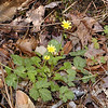 Marsh Marigold at Hedgewood Gardens in Townsend<br /> Caltha palustris<br /> Ranunculaceae<br /> Blount County, TN 4/08
