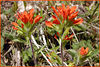 Indian Paintbrushes<br /> Castilleja coccinea<br /> Scrophulariacea <br /> Blue Ridge Parkway, NC<br /> near GSMNP