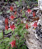Wild Columbine or Red columbine<br /> Aquilegia canadensis<br /> Ranunculaceae<br /> Great Smoky Mountains National Park, TN