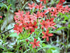 Fire Pinks or Catchfly <br /> Silene virginica<br /> Caryophyllaceae