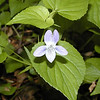 Dog Violet grows along the banks of Little River near my house.<br /> Viola conspersa<br /> Violaceae<br /> Blount County, TN 4/08