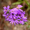 Western Silvery Aster growing on the summit of Starr Mountain<br /> Symphyotrichum sericeum<br /> Asteraceae<br /> Monroe County, TN 10/08