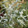 Loomis' Mountain Mint<br /> Pycnanthemum loomisii<br /> Lamiaceae<br /> Blount County, TN 8/08